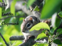 Small Of Get Rid Of Chipmunks