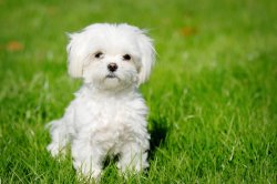 Small Of White Fluffy Dog Breeds