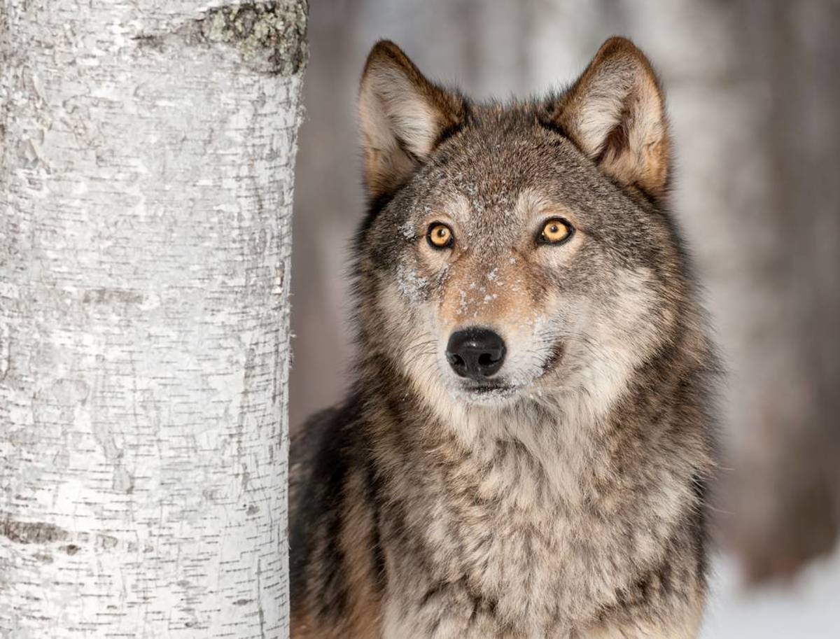 Catchy Adoption Dogs That Look Like Wolves But Don T Shed Dog Breeds That Look Like Wolves Dog Breeds Page Pelpful Dogs That Look Like Wolves bark post Dogs That Look Like Wolves