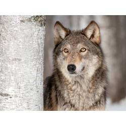 Small Crop Of Dogs That Look Like Wolves