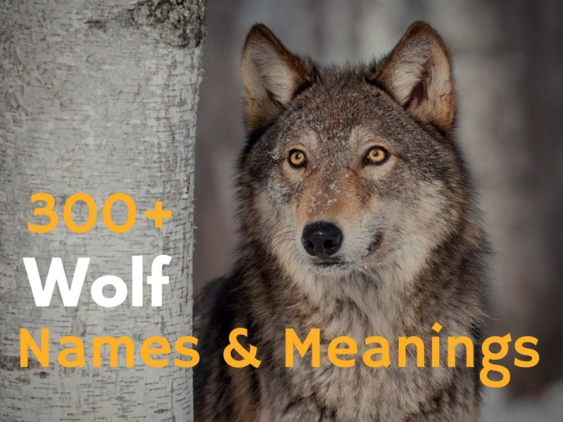 Large Of Famous Wolf Names