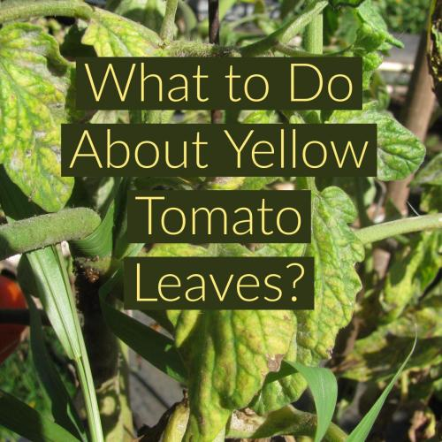 Medium Of Tomato Plant Leaves Curling