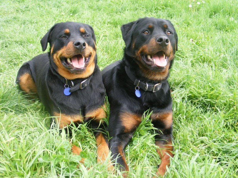 Large Of Excessive Panting In Dogs
