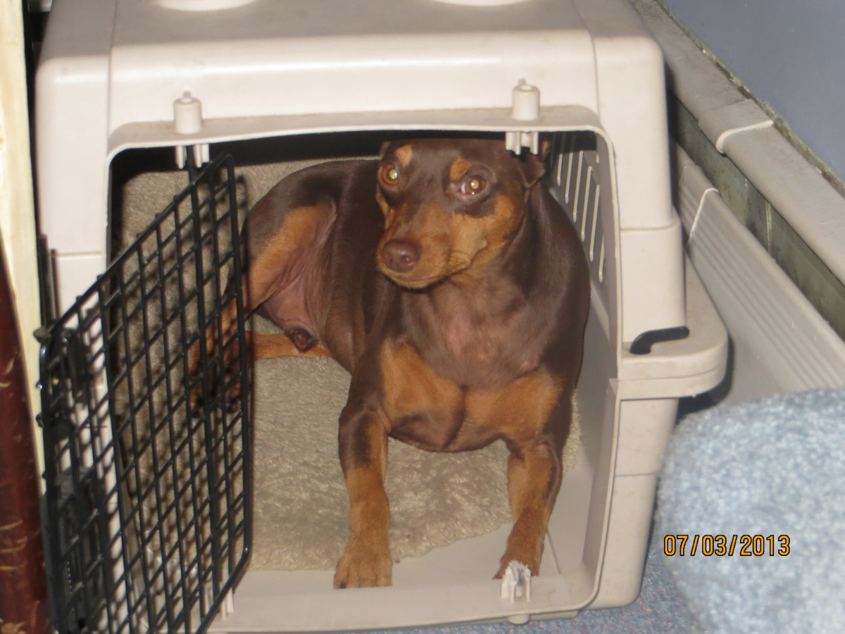 Tremendous Mange On A Kitten My Min Pin Does It Pelpful How To Get Rid Mange At Home How To Get Rid bark post How To Get Rid Of Mange