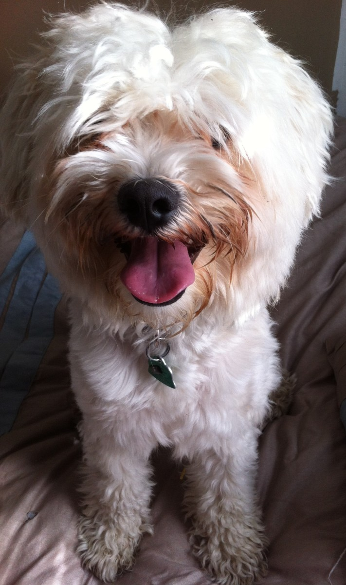 Lovely Havanese Dogs Make Family Pets Pelpful Can Some Dogs Be Autistic Could Dogs Be Autistic bark post Can Dogs Be Autistic