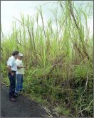 Sugar cane is one of Hawaii's biomass resources. Image from the Dept. of Energy.