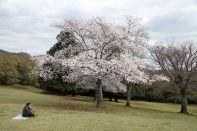 Un cerisier dans le parc de Nara