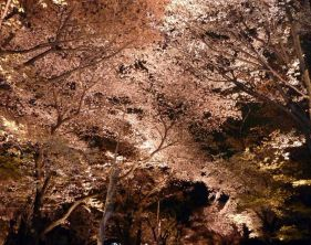 Des cerisiers...