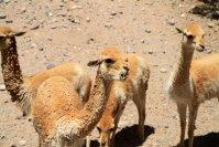 A Cachi j'ai croisé des vigognes d'élevage