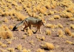 Zorro (renard des Andes)