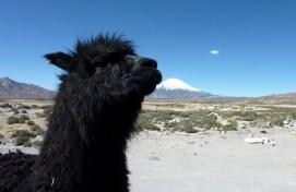 Ils sont sympas ces alpacas, mais ils squattent les photos