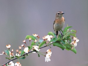 Bird-Photos-Little-Bird-Standing-on-Tree-Branch-White-Blooming-Flowers