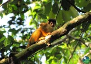 Corcovado-Monkey