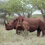 Black_rhino_with_calf_(male)