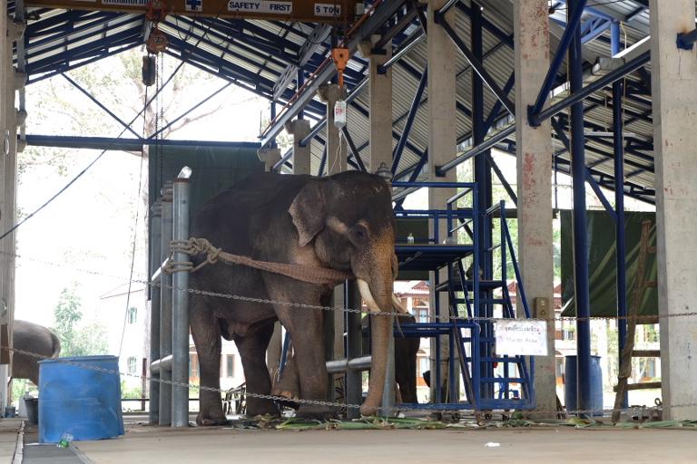 Jumbo on a drip. Olifantenziekenhuis in de jungle.