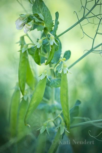 Unreife Erbsenschoten an der Pflanze.