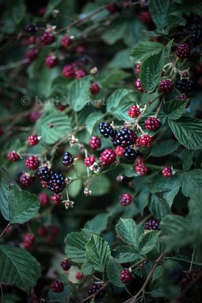 Brombeerstrauch (Rubus sectio Rubus).