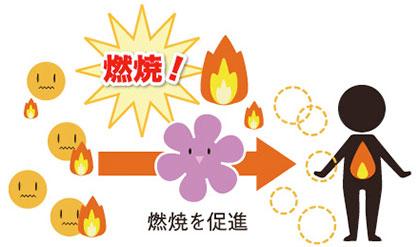 ③ 分解した脂肪を燃やす!!! / 葛の花 3大パワー