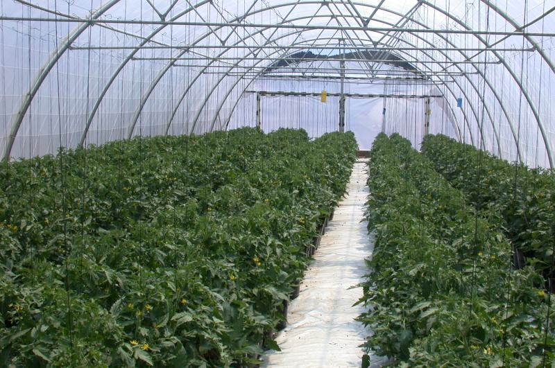 Large Of Tomato Plant Spacing