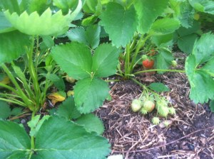 Strawberries June 3