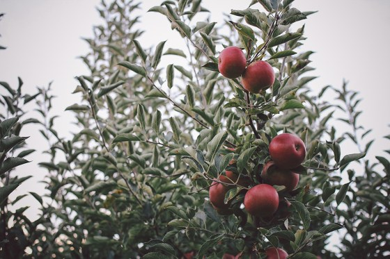 applepicking1