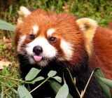 flickr-red-panda-firefox