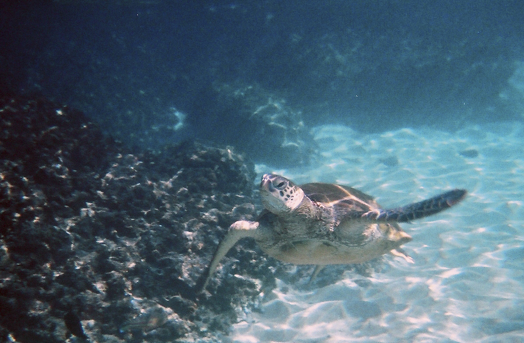 Swimming Sea Turtle 2