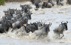 ss wildebeest migration feedly