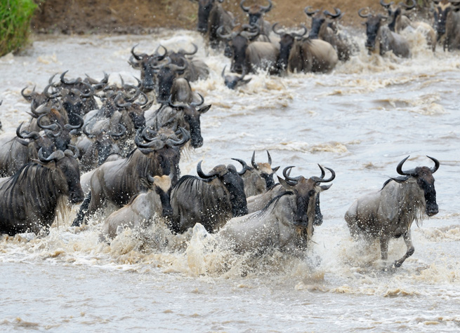 wildebeest migration feedly
