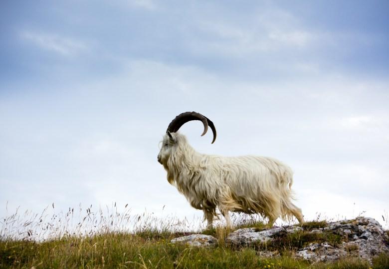 A cashmere goat