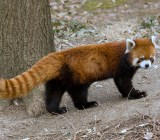 The Red Panda, also known as a Firefox