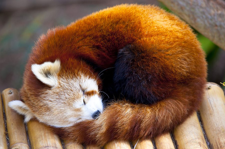 "A sleeping red panda, also known as the ""firefox."""