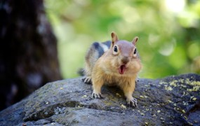 Chipmunk -- funding daily