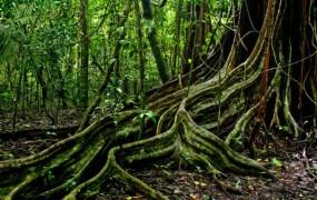 Jungle tree roots 2