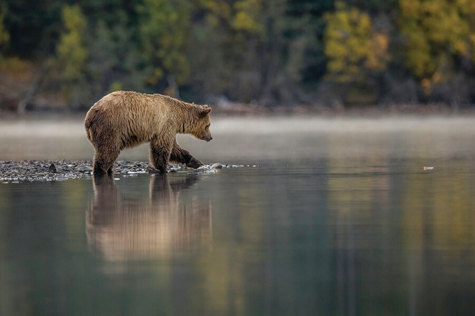iStock_51022662_Grizzly Bear, BC