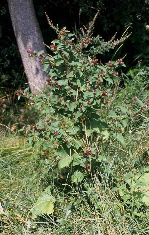 Bardane officinale (Arctium lappa) est une plante herbacée bisannuelle de la famille des Astéracées