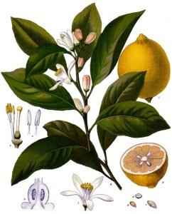 Citrus_x_limon_-_Köhler–s_Medizinal-Pflanzen-041