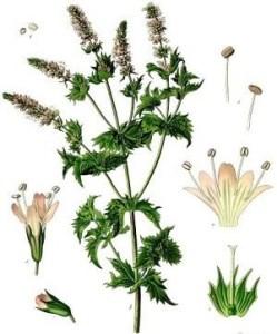 la-menthe-planche-botanique