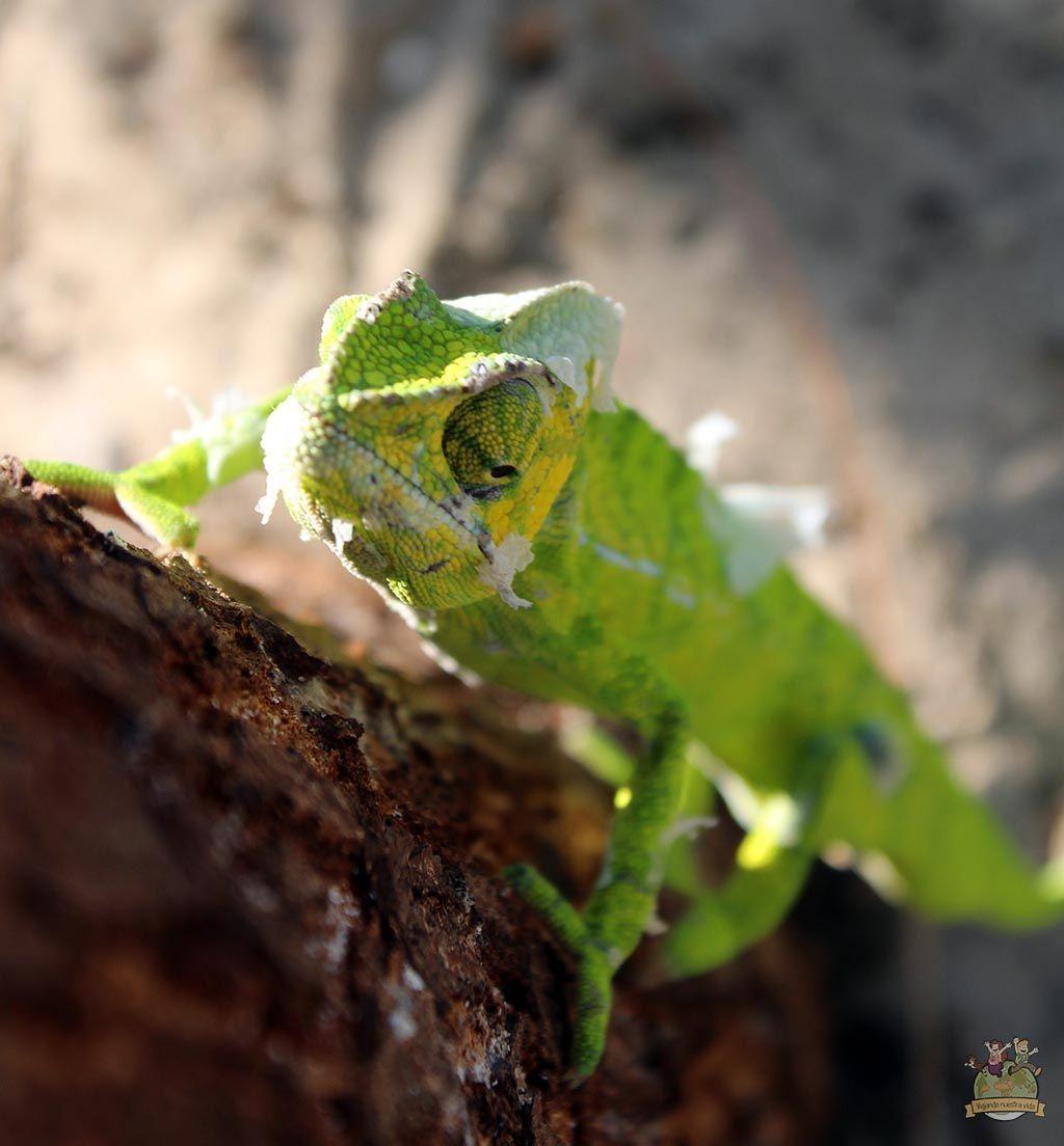 Camaleón en la playa de Morondava
