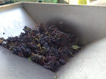 The grapes are ready to go through one of the machines
