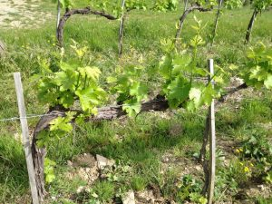 A greener picture from the vineyard