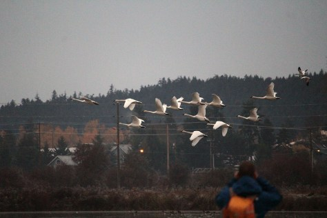 Maber Swans geese