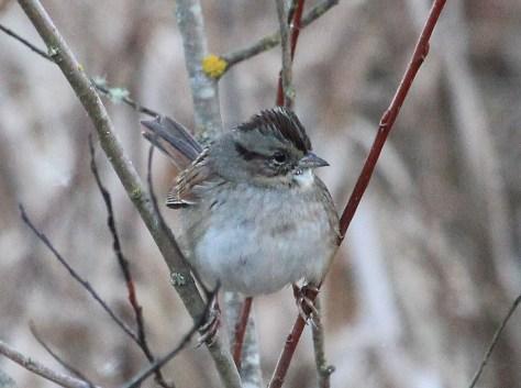 Swamp Sparrow4