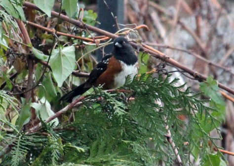 Spotted Towhee (2)
