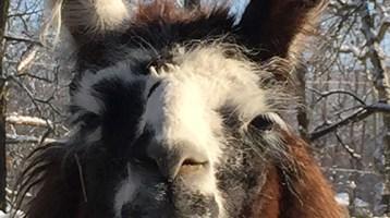 Meet a Llama on Periscope Wednesday Night!