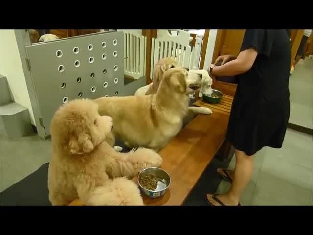 20140402  哈雷哈帝哈威哈樂一起飯前禱告 – 標準型貴賓狗哈樂 Standard Poodle Halo
