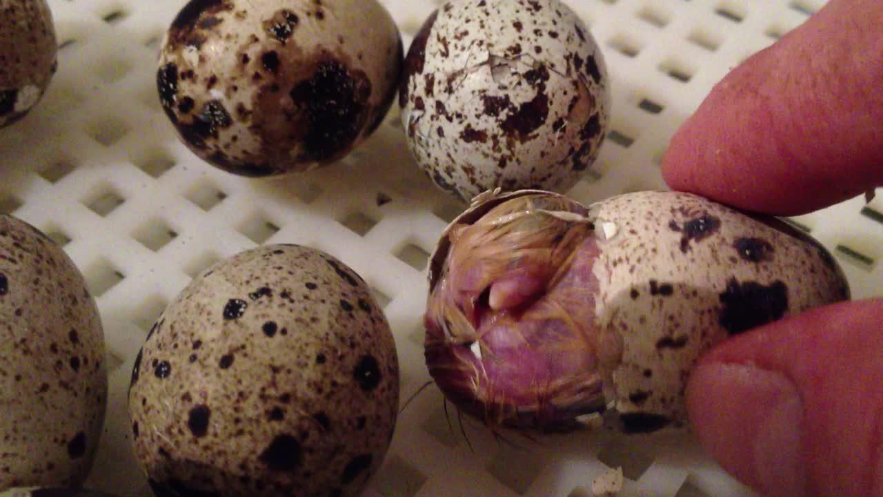quail-hatch-incubator