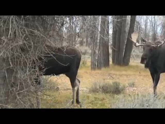 Fighting Moose