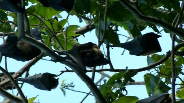 Rainforest Fruit Bats 2