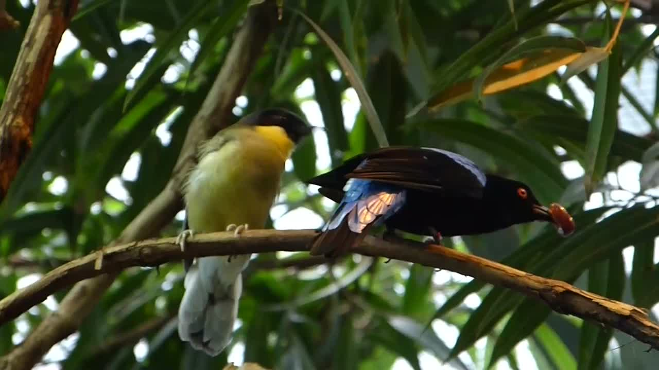 Asian Fairy-bluebird and Blue-crowned Laughingthrush at Cincinnati Zoo by Lee